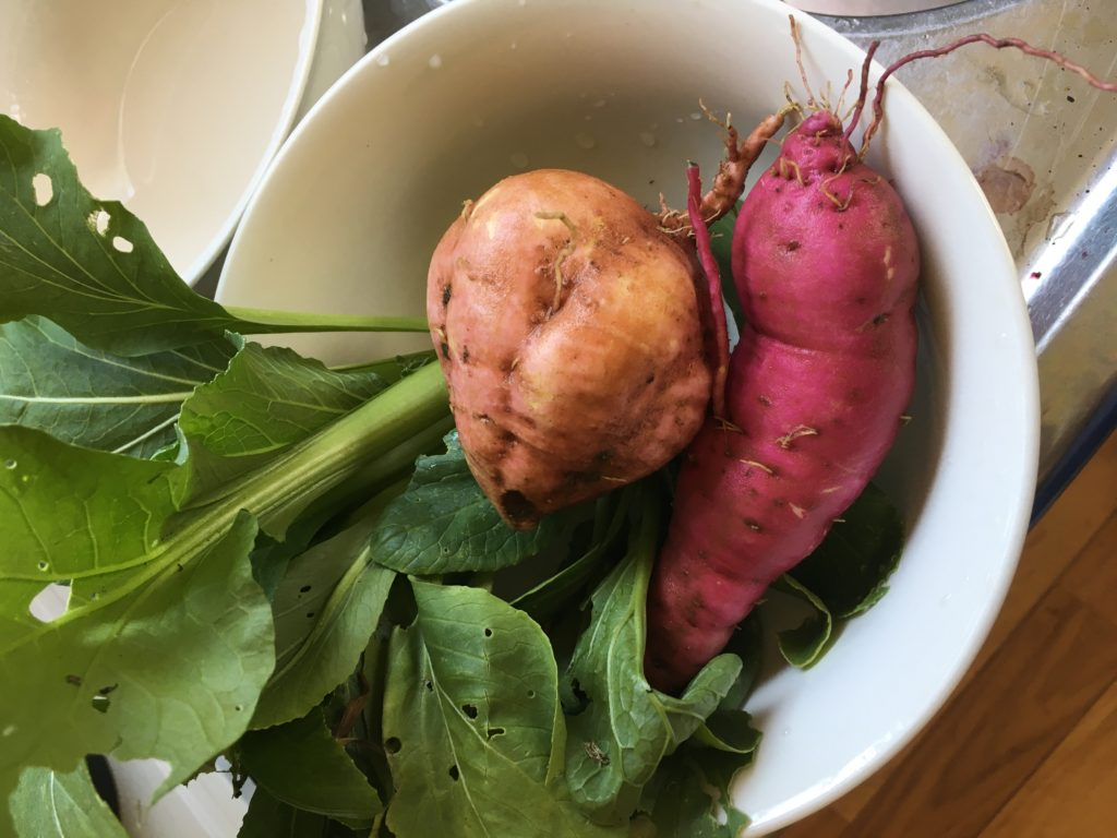 テストで採ってもらったさつま芋と小松菜